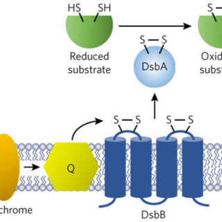 A water-soluble DsbB variant that catalyzes disulfide-bond formation in vivo
